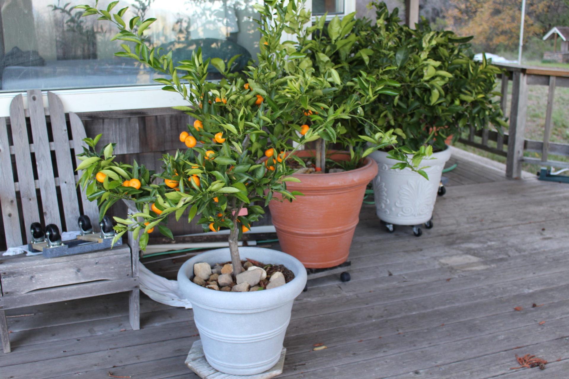 Формирование кроны лимона: обрезка, прищипка лимонного