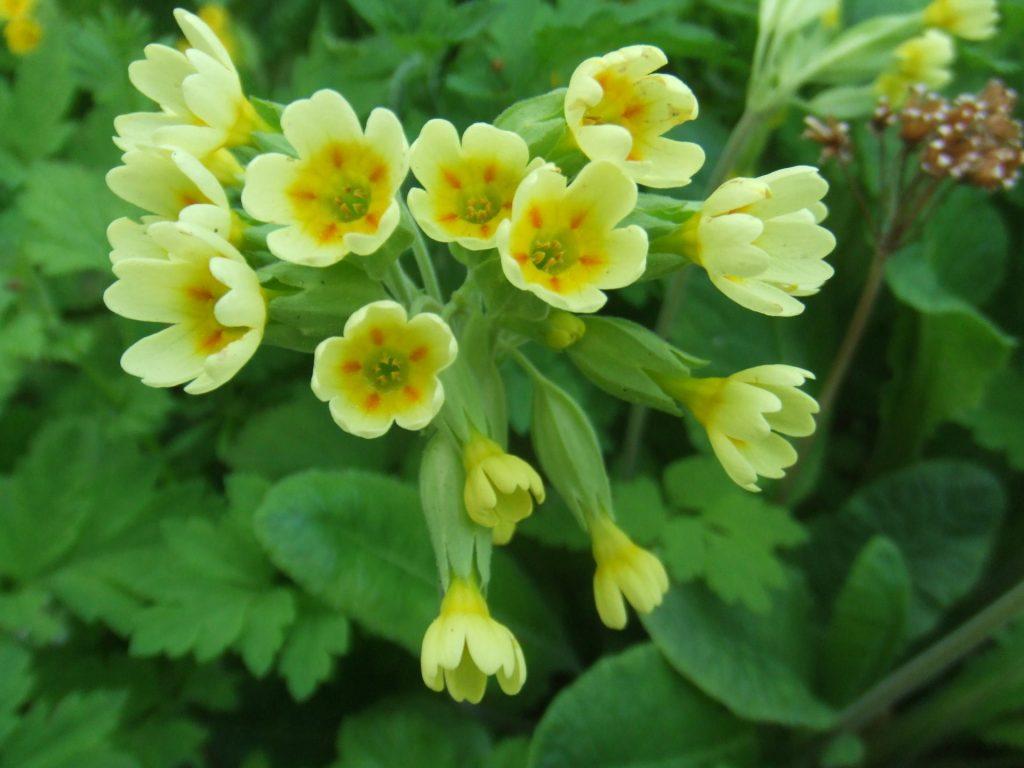 Первоцвет весенний: фото лекарственной примулы, описание, особенности выращивания и применения