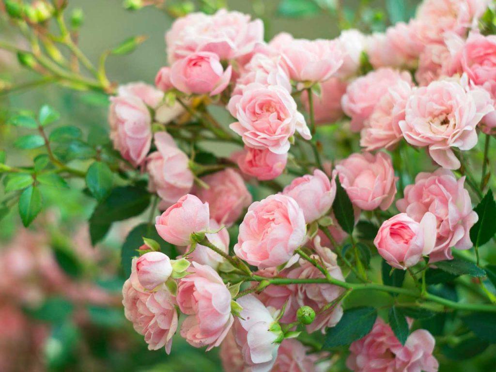Уход за розами весной после зимы