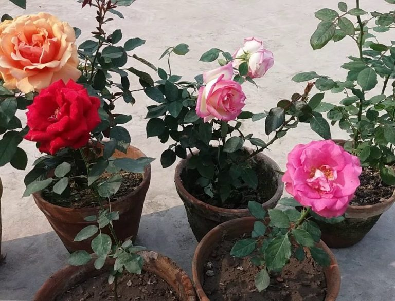 Как заставить розу цвести в домашних условиях 394