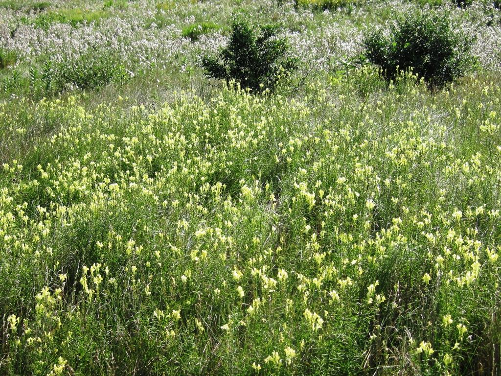 Растение-обманка – льнянка обыкновенная и марокканская