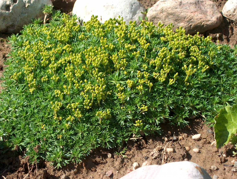 Azorella trifurcata Minima