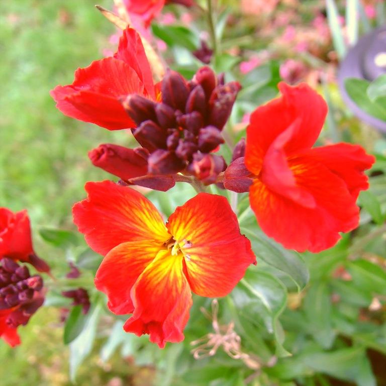 Цветок хейрантуса