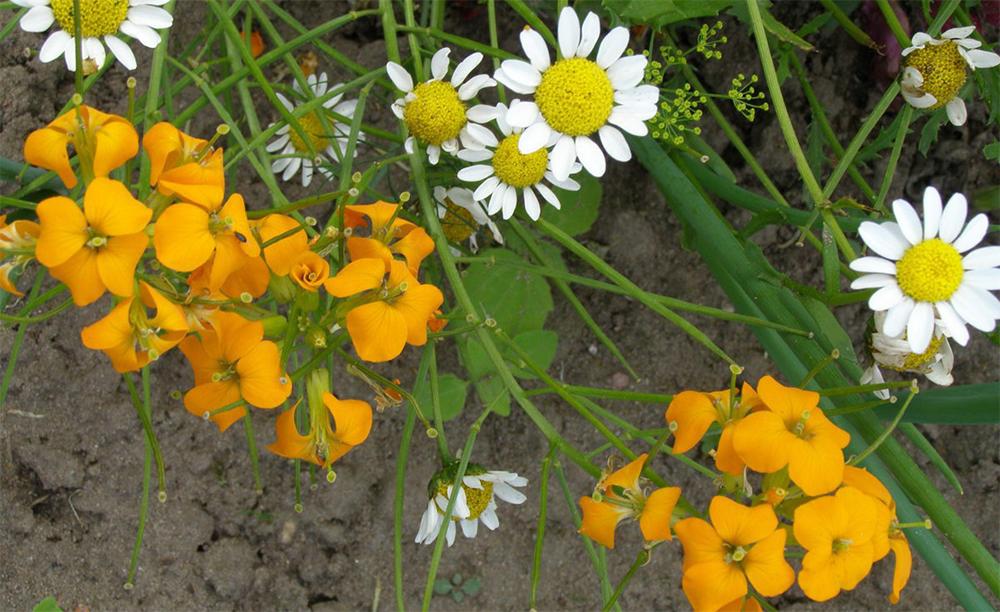 Цветки хейрантуса