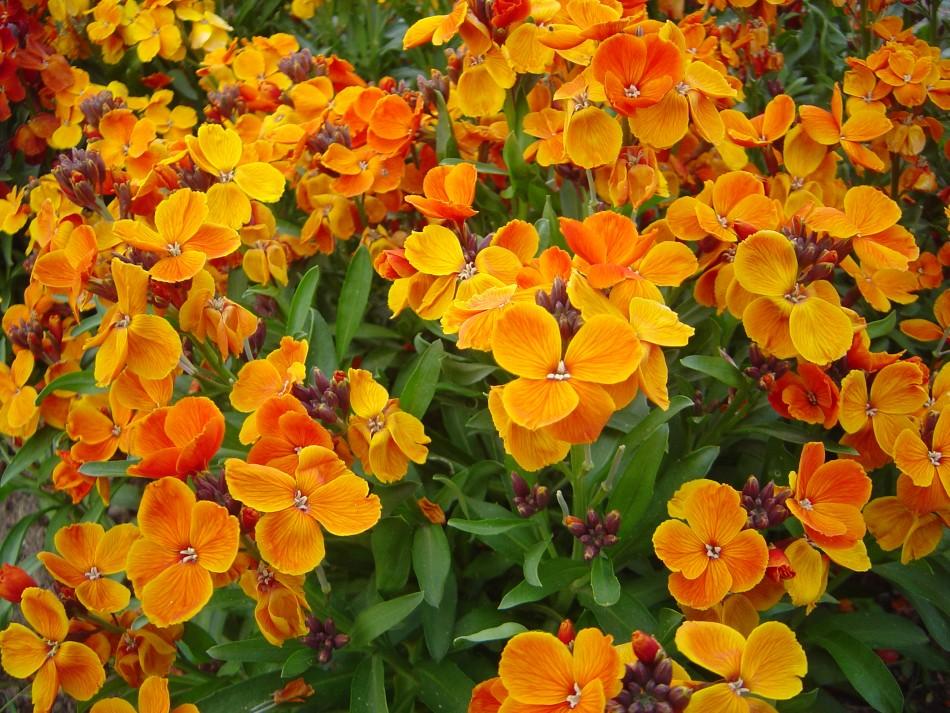 Цветение хейрантуса