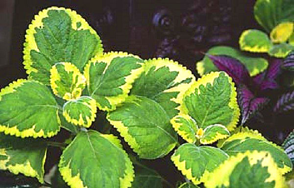 Plectranthu Green on Green