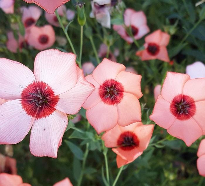 Розовый лен Звездопад
