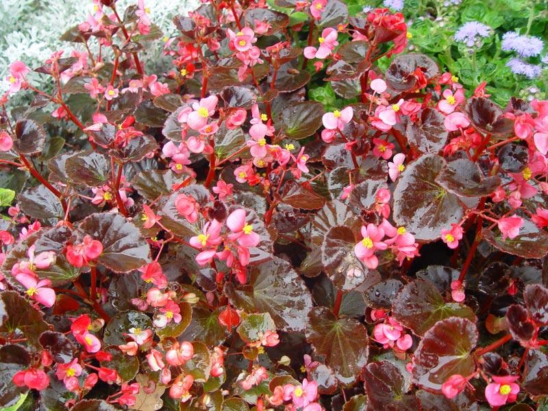 Бегония вечноцветущая с красноватым окрасом листьев
