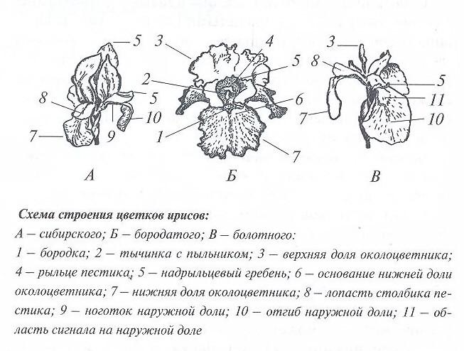 Схема строения цветков ирисов