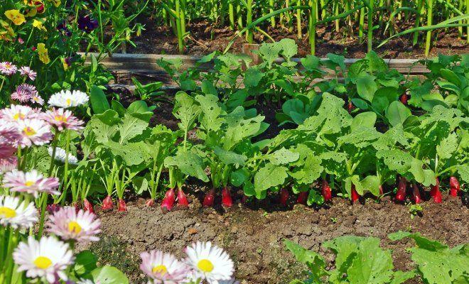 Соседство цветов и овощной культуры