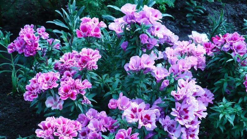 Куст кларкии в саду