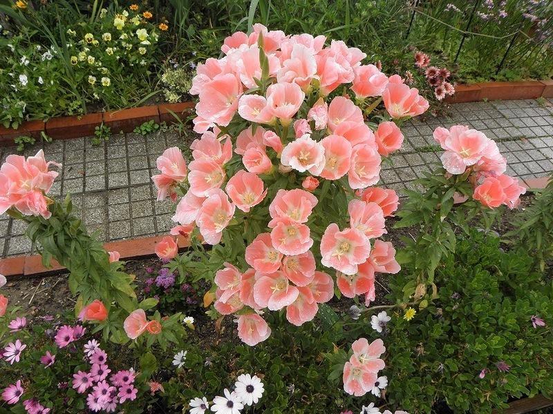 Усыпанная цветами кларкия amoena