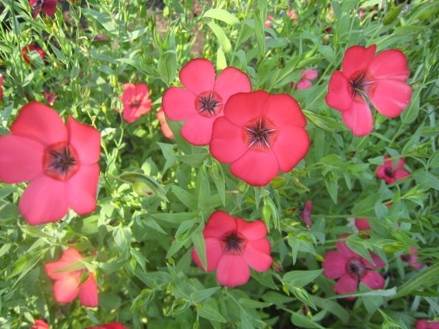 Крупноцветковой лен Рубрум