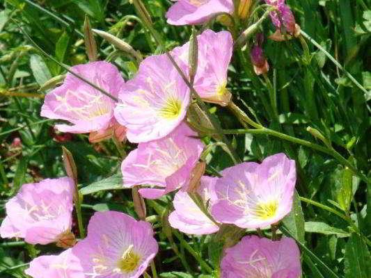 Розовая энотера