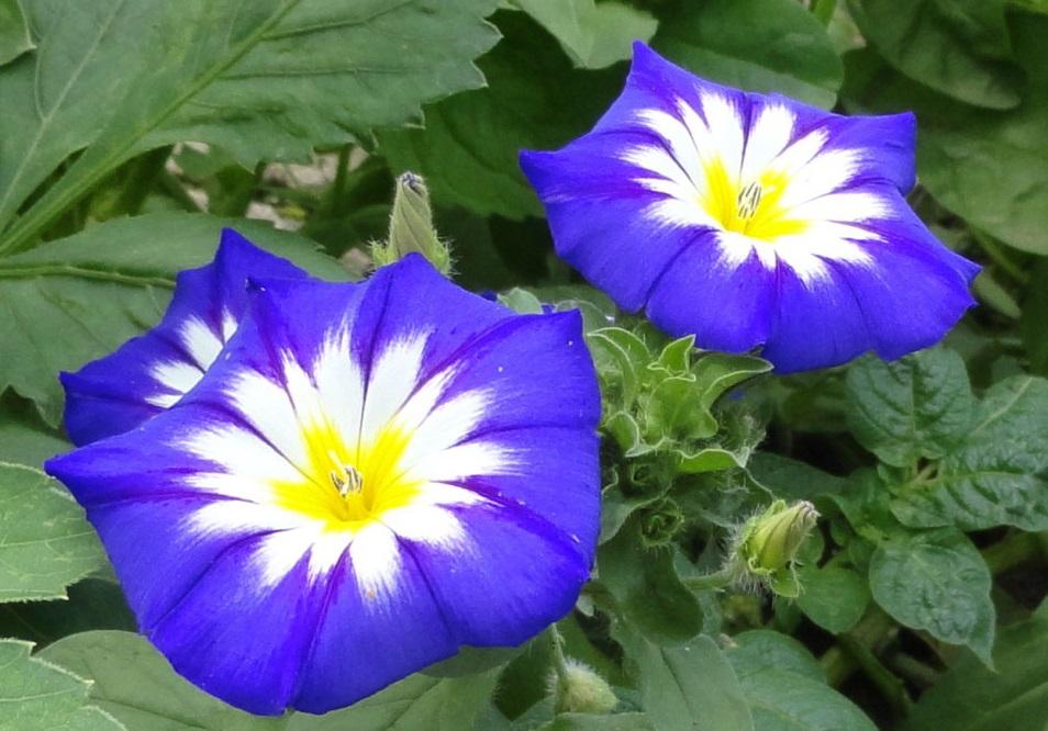 Цветки вьюнка трехцветного