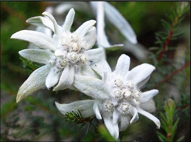 Цветы альпийского эдельвейса