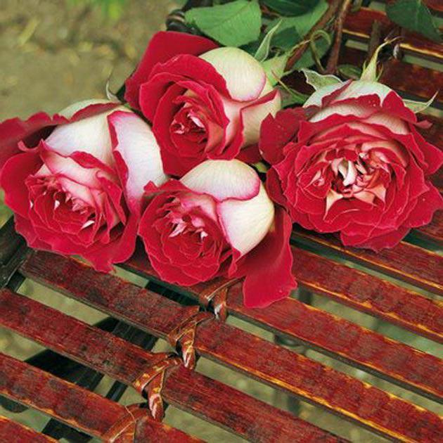 Букет чайной гибридной розы Осирия