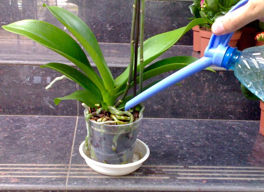 Орхидея в пластиковом горшке