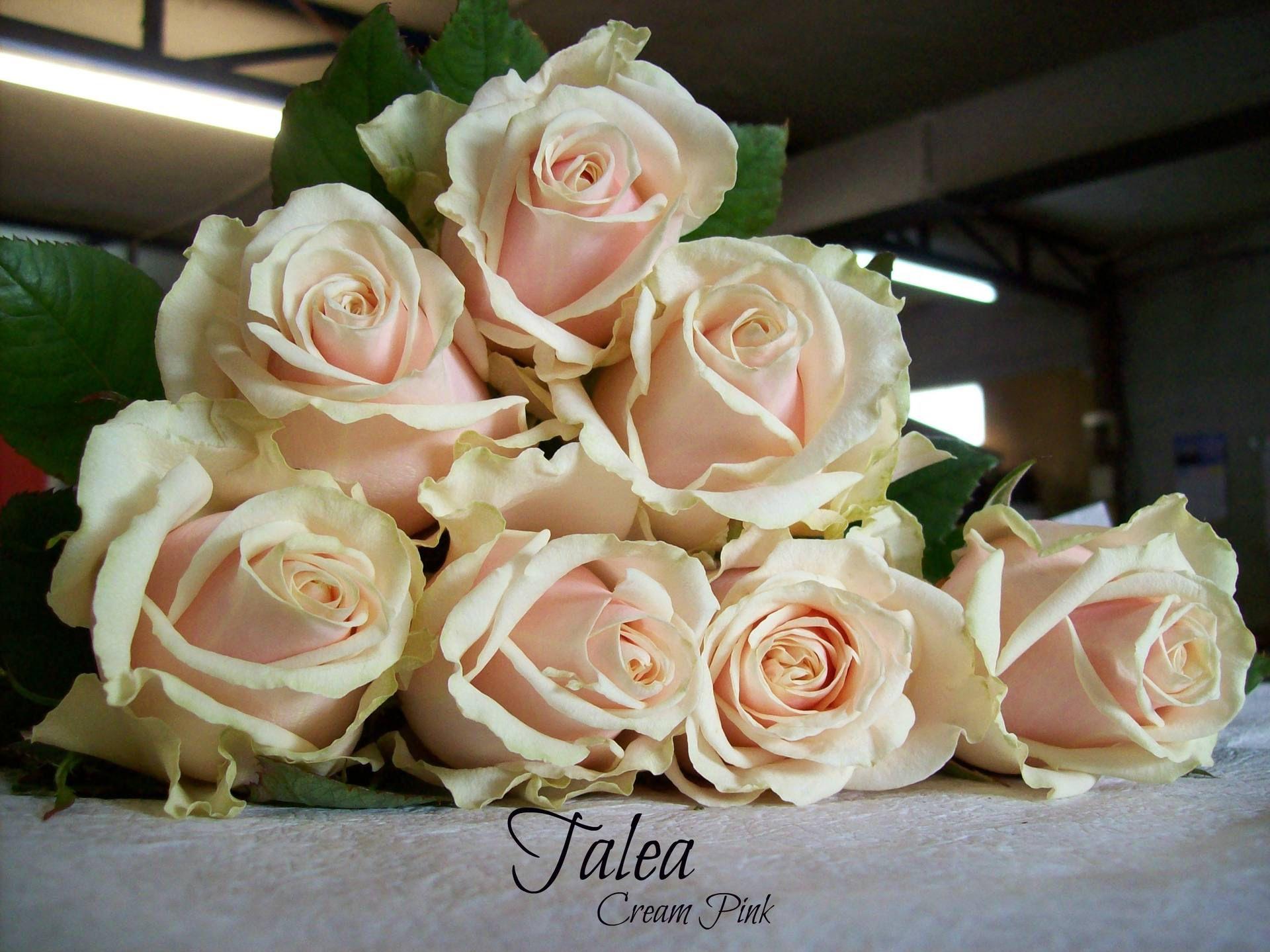 Сорт голландской розы Талеа