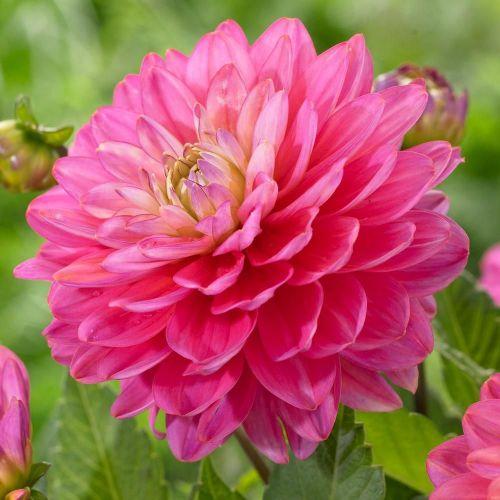 Melody Pink Allegro