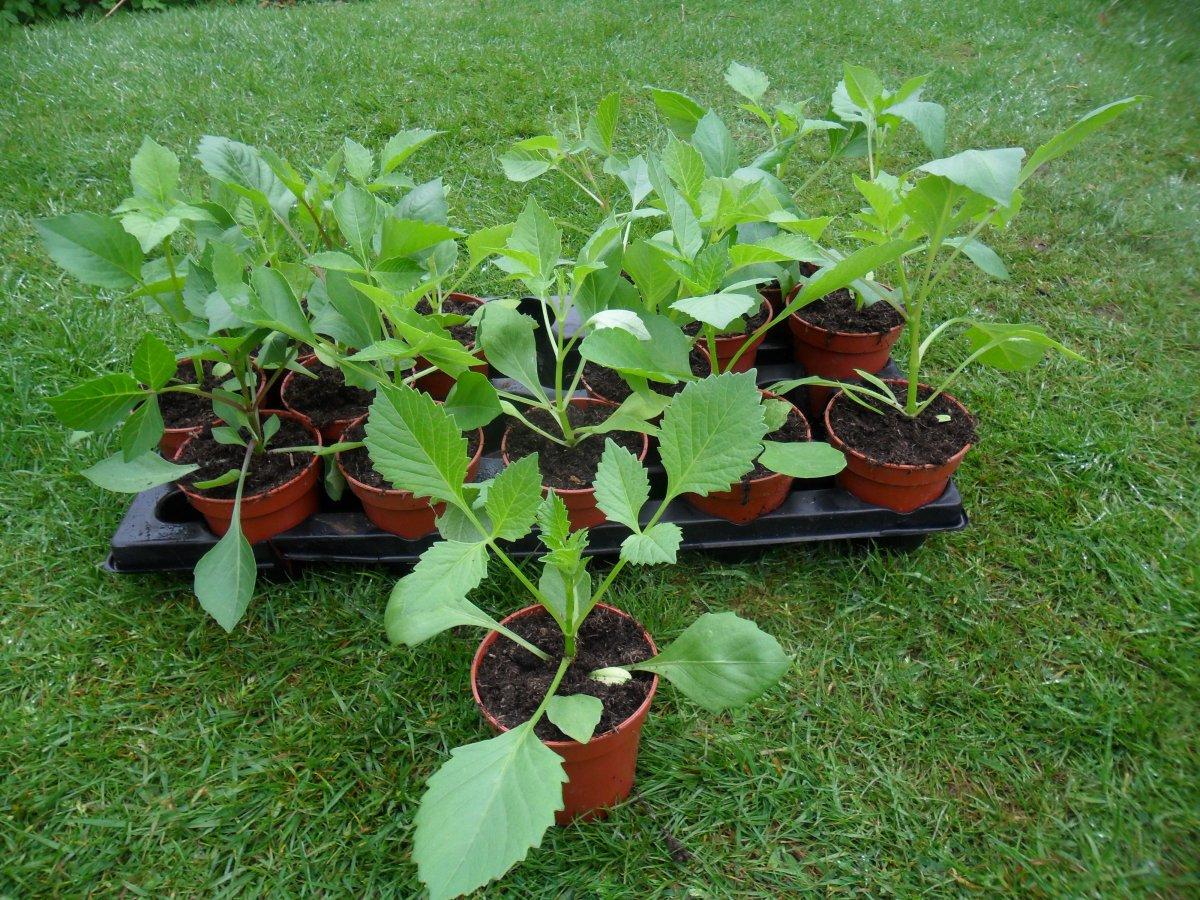 Рассаживание растений по одному