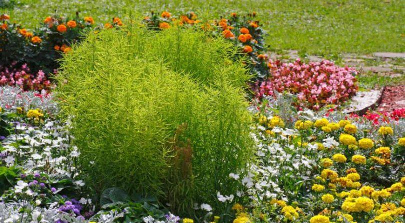кохия королевский замок выращивание из семян