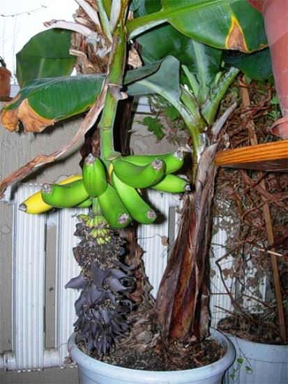 Съедобный банан в горшке