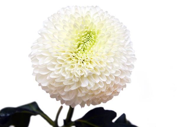 Хризантема Боула