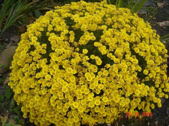 Выращивание хризантемы в горшке - что надо знать?