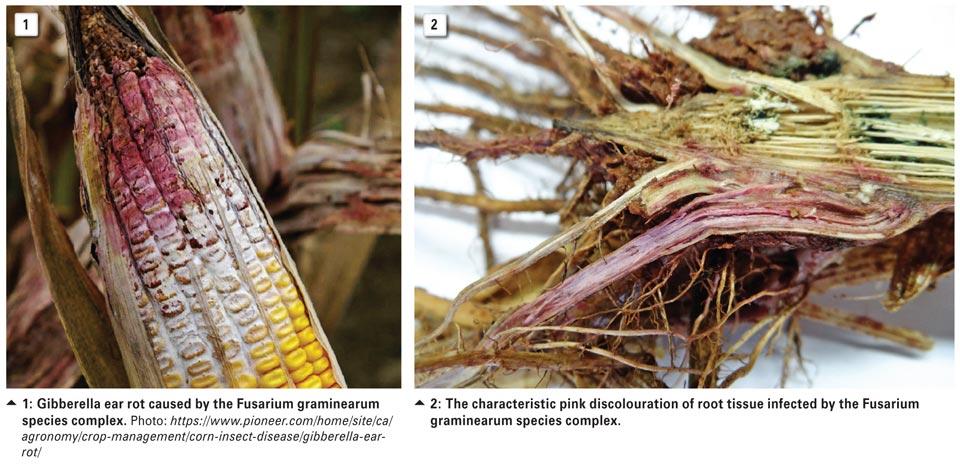 Поражение кукурузы фузариозом