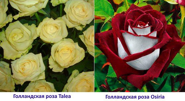 Сорта голландских роз