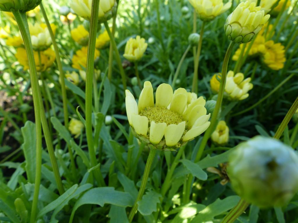 Многостебельная хризантема