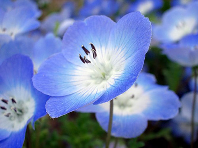 Цветок немофилы