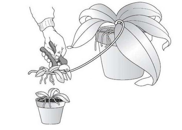 Размножение цветоносом