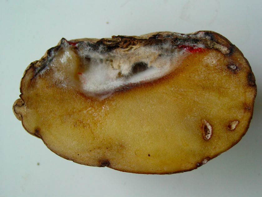 Картофельный клубень с фузариозом