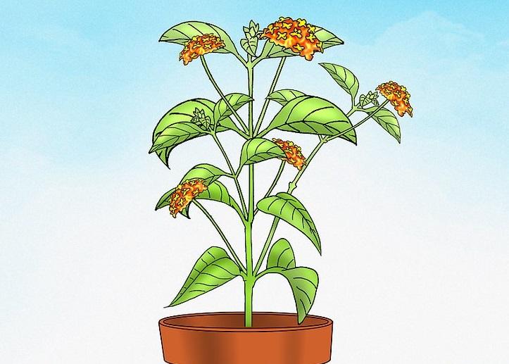 Цветок лантаны