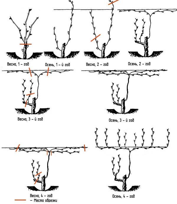 Правильная обрезка винограда - схема для новичков