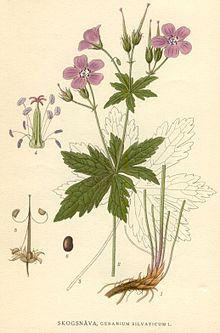 Герань, семена, цветки, корни