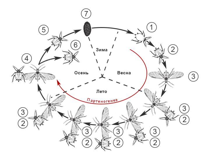 Жизненный цикл тлей