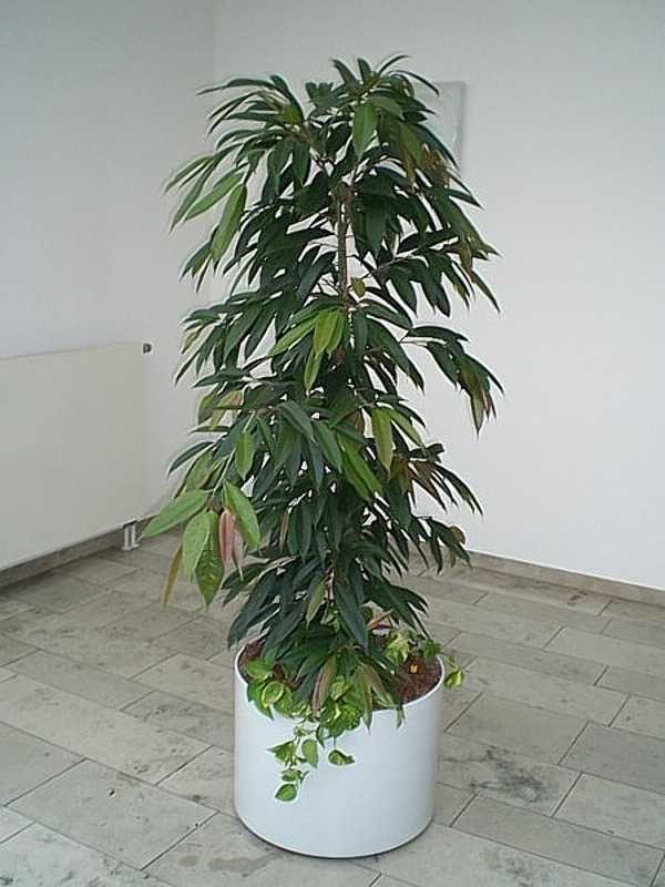 Ficus binnendijkii