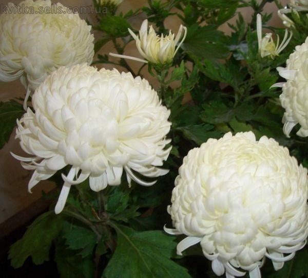 Белая хризантема Армада