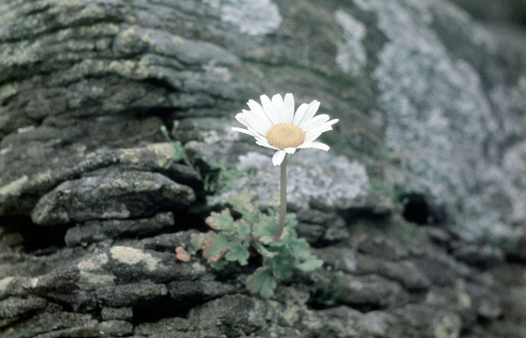 Leucanthemum kurilense