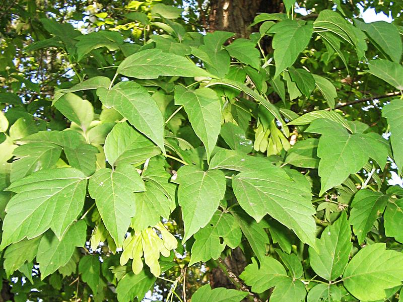 Листья ясенелистного клена