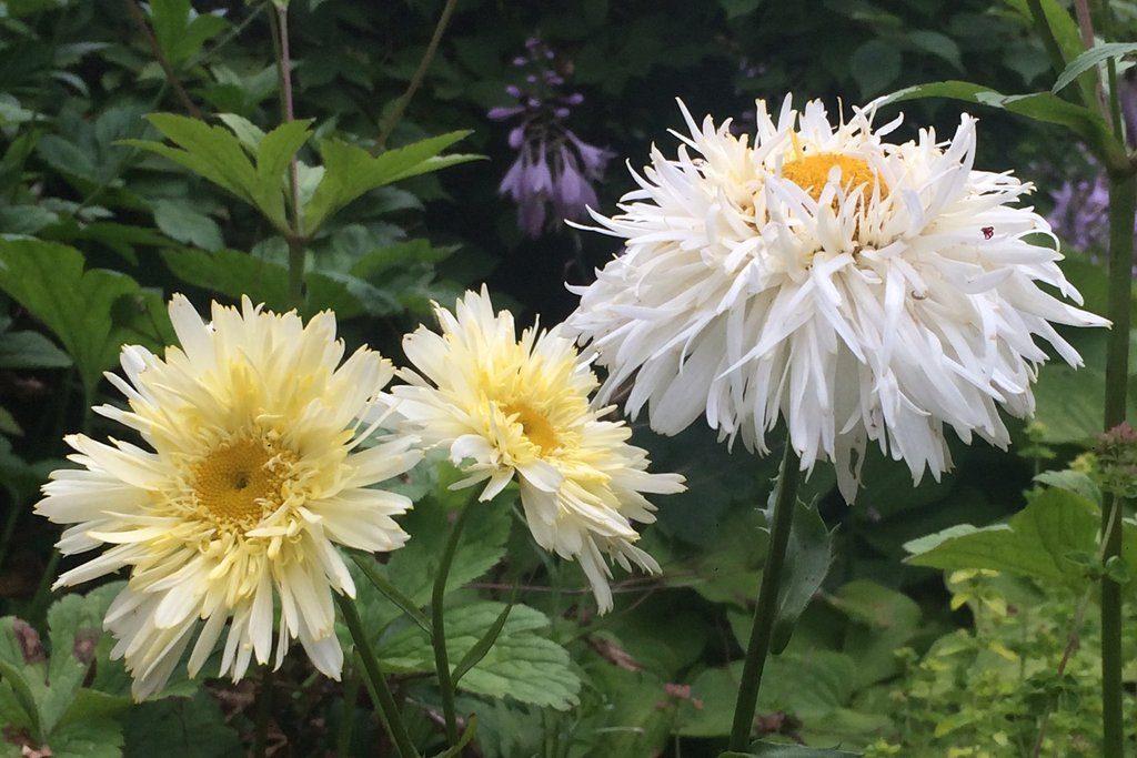 Leucanthemum superbum)