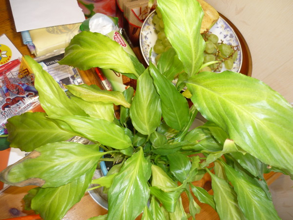У спатифиллума пожелтели листья