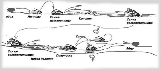 Развитие колонии тлей