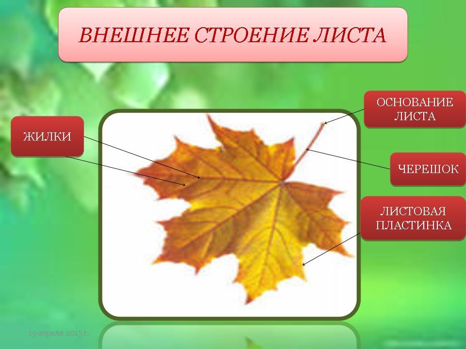 Строение листка