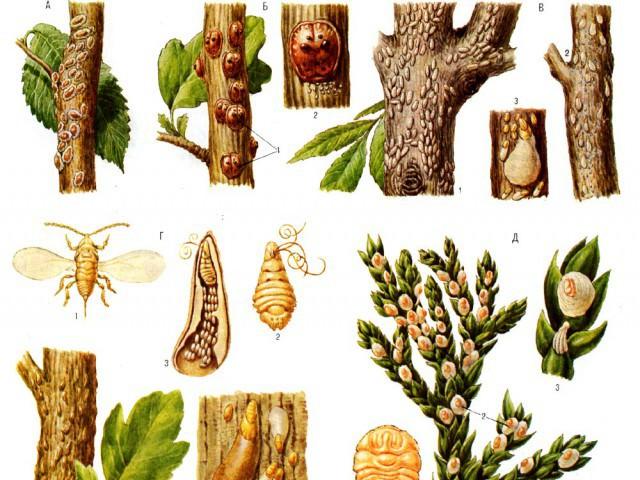 Щитовки на растениях