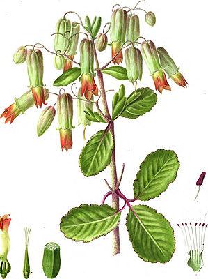Растение каланхое - ботаническое описание