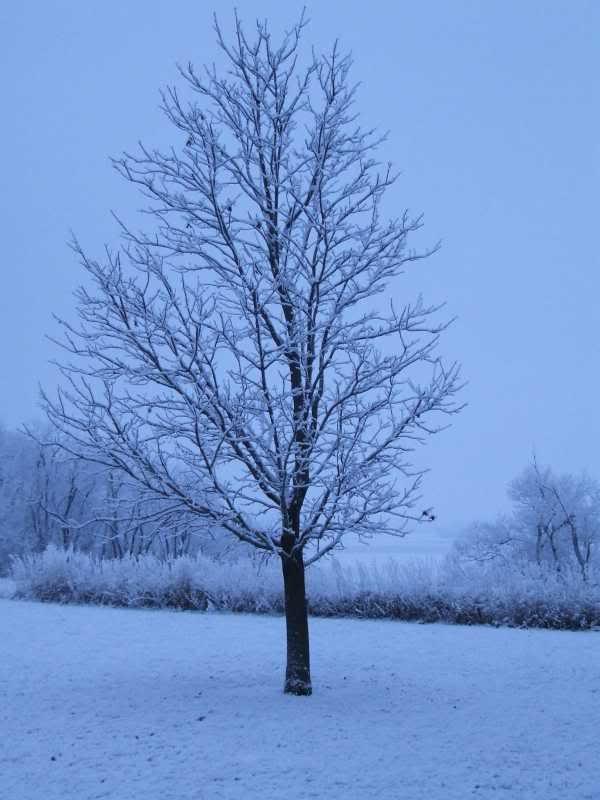 Клен зимой